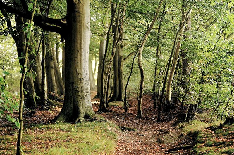 Snapphanar - en bokskog i norra Skåne